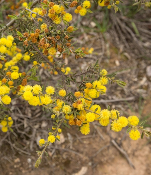 rough-wattle
