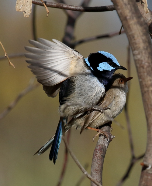 superb-fairy-wren_16-09-25_14-crop