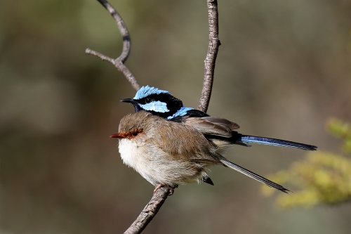 superb-fairy-wren_16-09-25_3-crop