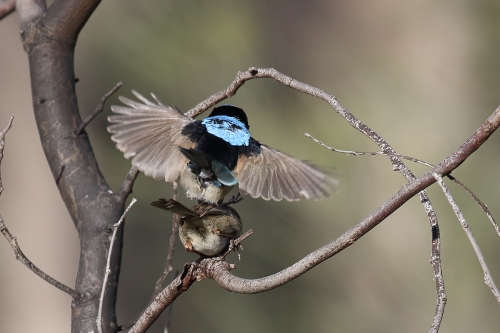 superb-fairy-wren_16-09-25_9-crop