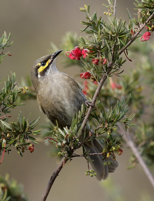 yellow-faced-honeyeater_16-09-25_5-crop-jw