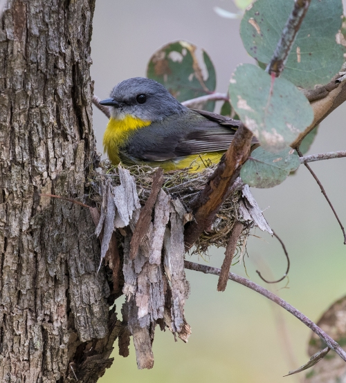 Eastern Yellow Robin on nest, Rise and Shine, 20th September 2016