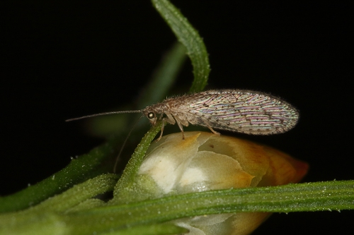 brown-lacewing_16-10-23_1-crop