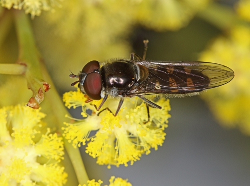 hoverfly_16-10-07_7-crop