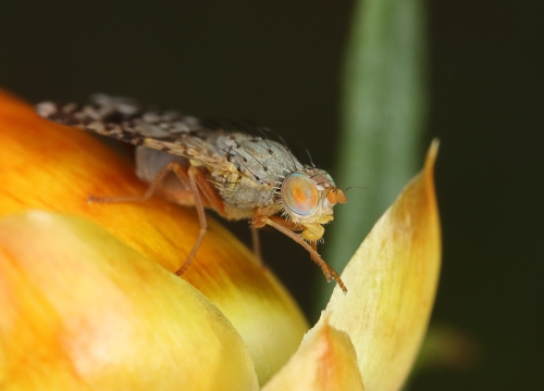 dotted-wing-lauxiniid-fly_16-10-31_4-crop