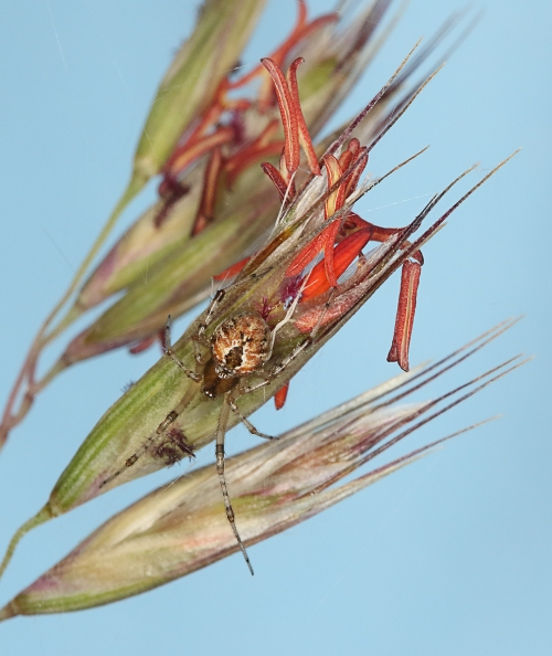 spider-on-red-anther-wallaby-grass-crop