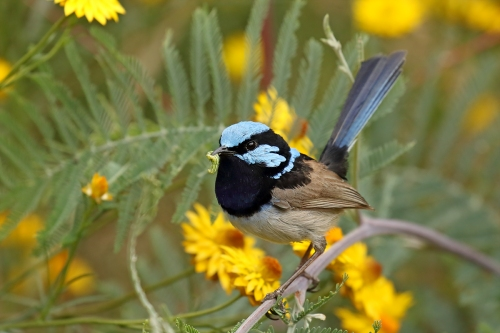 superb-fairy-wren-male_16-11-25_1-crop