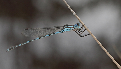 blue-damselfly_16-12-16_1-crop