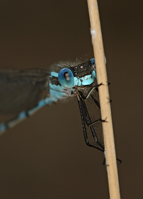 blue-damselfly_16-12-16_8-crop