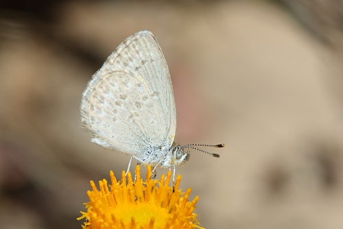 common-grass-blue-butterfly_16-12-10_3-crop