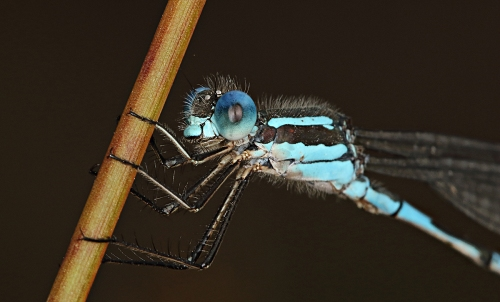 damselfly-close-up-stack-crop