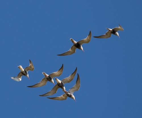 terns1