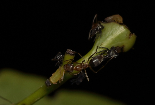 ants-with-leafhopper-nymphs_17-01-29_1
