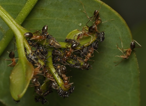 ants-with-leafhopper-nymphs_17-01-29_4