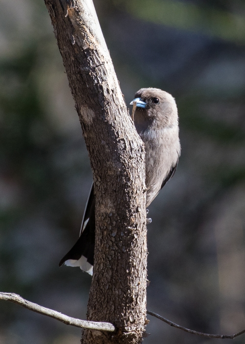 duskywoodswallow