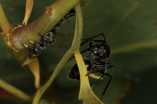 leafhopper-nymphs-ants_17-01-28_6