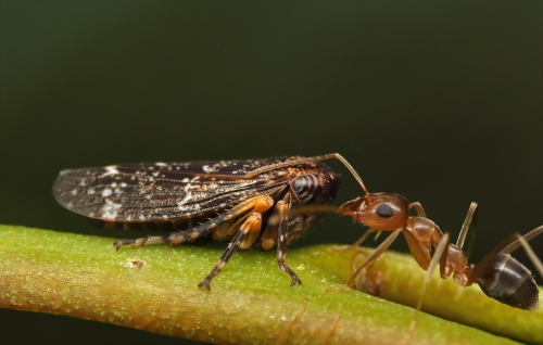 leafhopper-nymphs-ants_17-01-30_4
