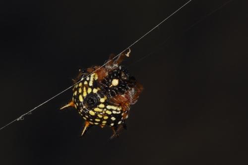 jewell-spider_17-02-26_5