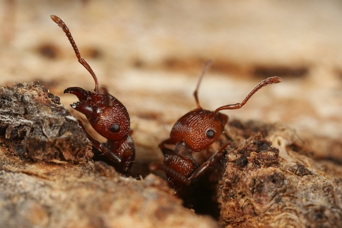 muscleman-tree-ant_17-02-26_17