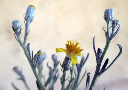 Senecio behrianus - STIFF GROUNDSEL - endangered daisy flowering in 150mm pot in nursery, 10 Dec 2015