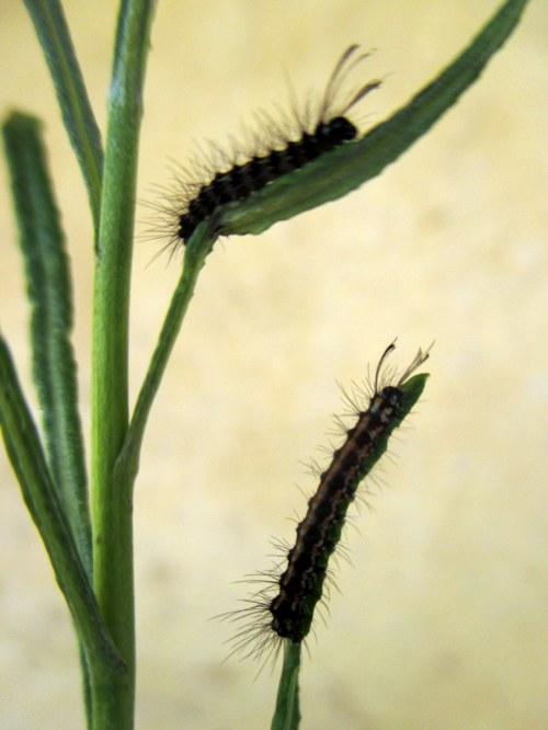 Senecio moth caterpillar on Senecio behrianus, 12 Nov 2017