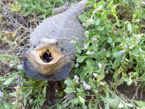 Eastern Bearded Dragon on Scaevola with mouth open 27 Dec 2017