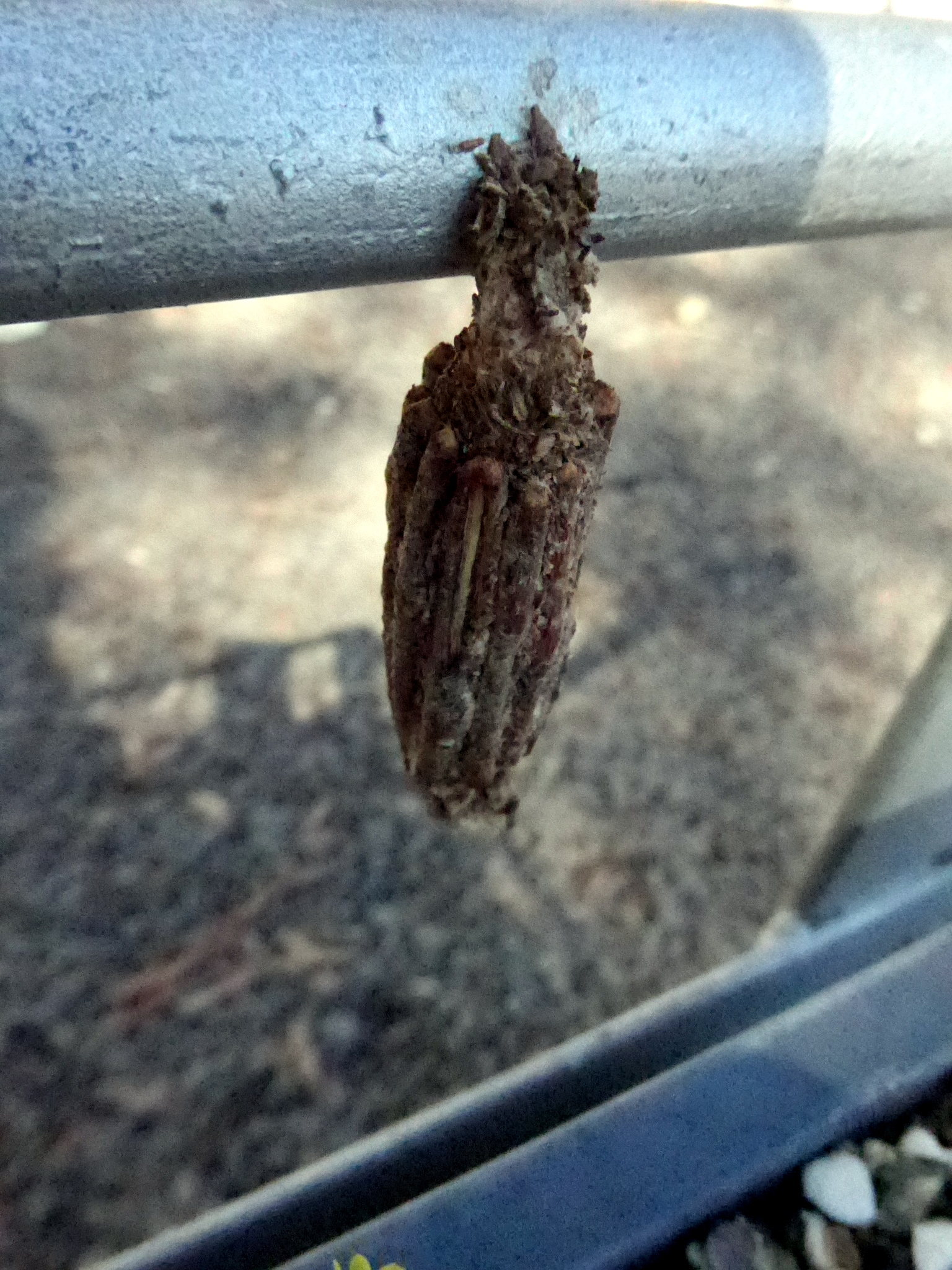 cocoon of male Australian Faggot Case Moth (no longer twig at bottom for visiting male) on trolley, 19 January 2018