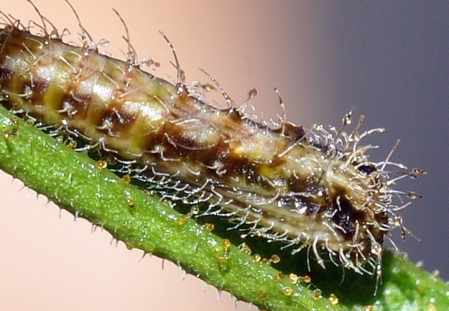 Stangia xerodes - PLUME MOTH - pupa on Acacia aspera - ROUGH WATTLE photgraphed by Steve Williams close up