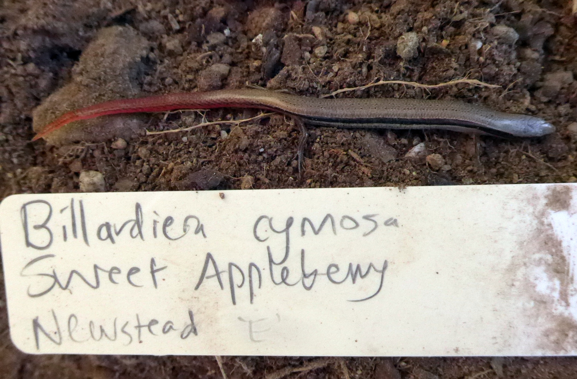 skink with bright red tail with plant label, Newstead 20 Sept 2018