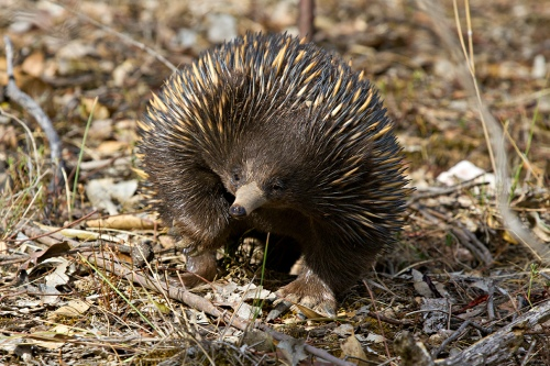 Echidna by Patrick Kavanagh