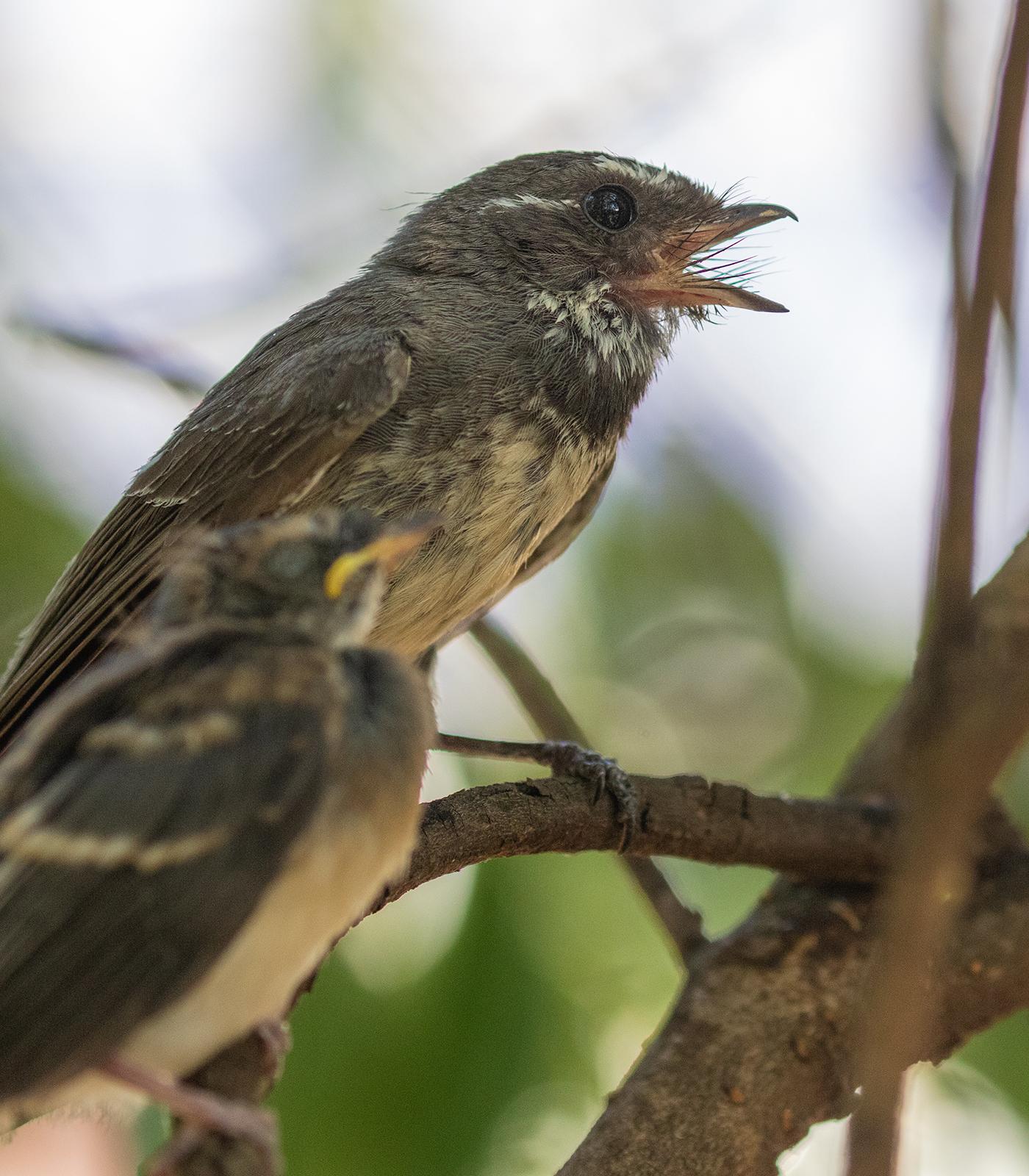 patron saint of birds