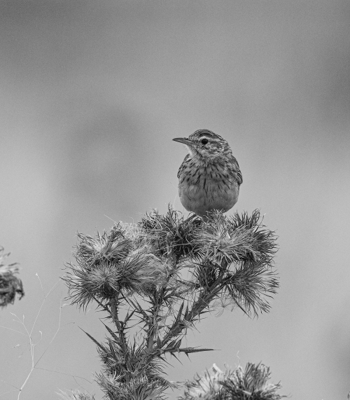 pipit2